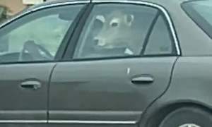 Car with a Cow in the Backseat