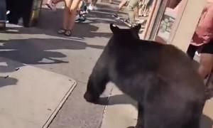 Bear Casually Strolls Through Crowded Corner