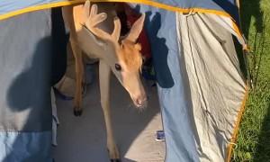 Deer Joins Campers in Tent