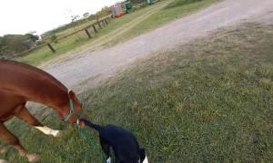 Border Collie Helps Walk Horse