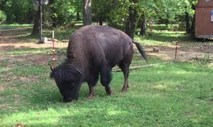 Big Bison Graze in Man's Back Yard