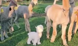 Confused alpacas utterly bewildered by lookalike imposter