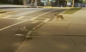 Coyote Uses Boston Crosswalk
