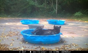 Adorable Bear Having a Good Scratch in the Pool