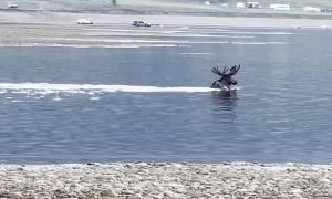 Moose Cooling off Together in Taylor Reservoir