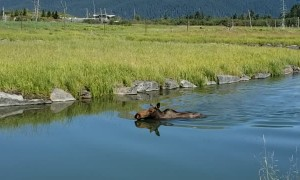 Moose Swimming on a Hot Summer Day