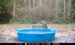 Owls Battle in Kiddie Pool