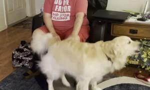 Golden Retriever Hops for Butt Pats