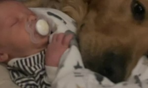 Golden Retriever Cuddles with New Baby