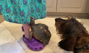 Grandma Gives Treats to Doggy and Tortoise