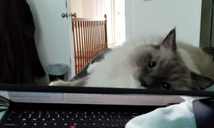 Cuddly Kitty Prefers Pets over Owner's Laptop