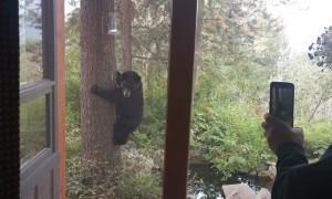 French Bulldogs Tree a Black Bear