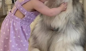 Fluffy Malamute Accepts Hugs from Toddler