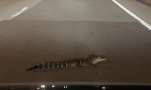 Driver Doesn't Match Young Alligator's Patience
