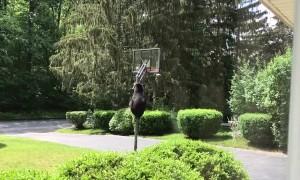 Mama Bear Climbs Hoop to Feed Cubs