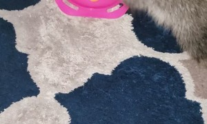 Raccoons on Rug Play with Toy