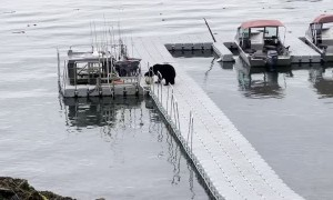 Bear Tries to Take Bucket From Boat