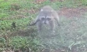 Baby raccoon plays with water hose just like a doggy
