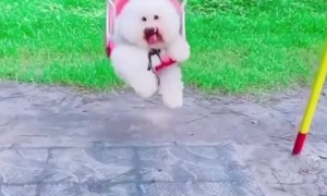 Fluffy Pup Smiles While Swinging