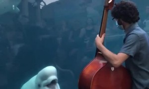 Beluga whales deeply entertained by bassist's performance