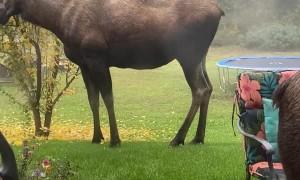 Family of Moose Visit Friendly Backyard