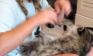 Kiddo Gets Kisses From Cuddly Raccoon