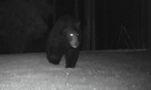 Black Bear Figures Out How to Open Gate