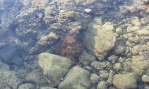 Octopus in Tidepool Goes Full Parachute