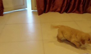 Golden Reaction to New Puppy