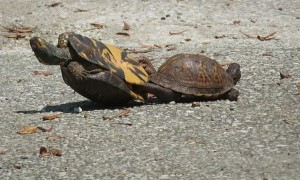 Mating Turtle Ends up on His Back