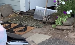 Removing a Badger from the Woodshed Using a Shovel