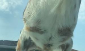 Goat Herd Keeps Car From Leaving