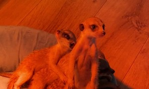 Conga Line of Cuddling Meerkats