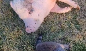 Raccoon Hangs Out With Pig Pal