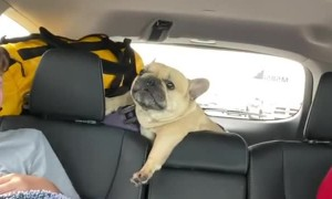 Frenchie Throws A Fit During Car Ride