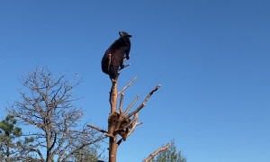 Bear Cubs Play King of the Tree