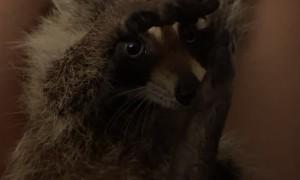 Human Hand Keeps Rescued Raccoon Happy