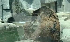 Captive Bears Play Wrestle