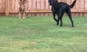 """Golden Pretends Not to See """"Sneaky"""" Lab"""
