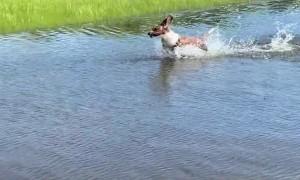 Basset Hound Bounces Through Big Puddle