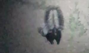Skunk Struggles To Get Unstuck