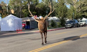 Massive Bull Elk Causes Traffic Jam in Estes Park