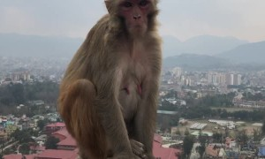 Monkeys Relaxing Above the City