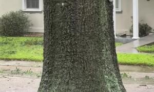 Tree Starts to Split During Hurricane Ida