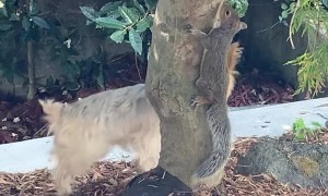 Yorkie Wants to Play with Squirrel