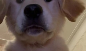 Leo the Golden Puppy Plays with Phone