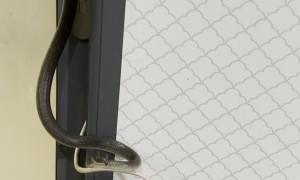 Snake Wraps Itself Around Door Handle