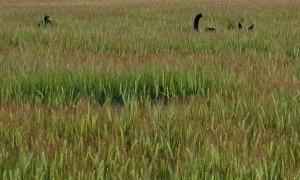 Kelpies Bouncing in Barley Crop