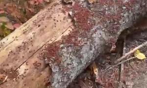 Log Crawling with Ladybugs