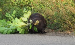 Beaver Out for a Morning Stroll in Saskatoon